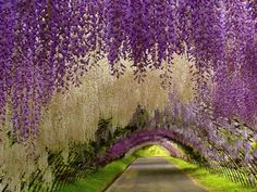 藤の花のトンネル