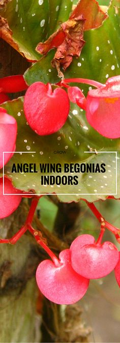 To successfully grow angel wing begonia indoors requires understanding its needs. Don't be scared, the plant only looks high maintenance.