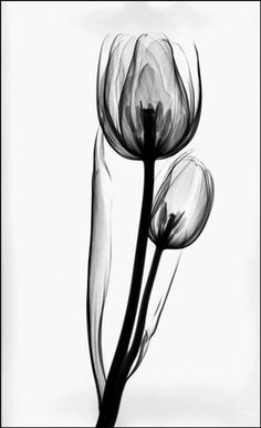 Koetsier Tulip (Two) Xray Flower, Flower Art, Tulip Tattoo, Flower Tattoos, Watercolor Flowers, Watercolor Art, Transparent Flowers, Black Tulips, Blue Poster