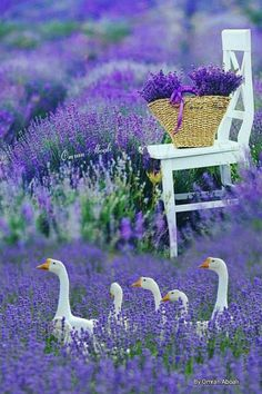 Lavender Cottage, Lavender Blue, Lavender Fields, Lavander, Pretty Flowers, Colorful Flowers, Purple Flowers, Wild Flowers, Beautiful Birds