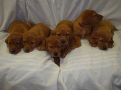 Fox Red Labrador Puppies | Warne's Red Labs