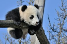 little Fu Bao, Zoo Vienna
