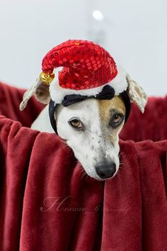 Jack Russell Terrier at Christmas