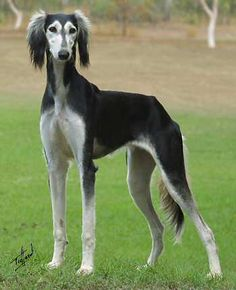 Saluki--->Is this not one of the prettiest dogs you have ever seen?! I want one so baddddd!!!!!!