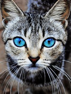 Top 28 Photos Of Blue Eyed Cats Pets Cats Animal photos cute animals Pretty Cats, Beautiful Cats, Animals Beautiful, Cute Animals, Pretty Kitty, Gorgeous Eyes, Beautiful Things, Cute Kittens, Cats And Kittens