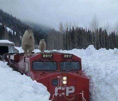 Mountain Goats on a Train somewhere in the Roger's Pass U Bahn Station, Simplon Orient Express, Meanwhile In Canada, Canadian Pacific Railway, Railroad Photography, Canada Eh, Big Sky Country, Fauna, Model Trains