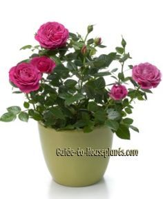 Tips for growing miniature roses indoors. How to take care of miniature roses (Rosa chinensis hybrids) as house plants. Planting, pruning mini rose bushes.