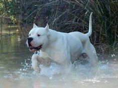 Dogo Argentino, said to be wonderful family dogs because they can take a beating. Bred for boar hunting these does are fiercely protective. Big Dogs, I Love Dogs, Dogs And Puppies, Cute Dogs, Doggies, Pitbull Terrier, Beautiful Dogs, Animals Beautiful, Dog Argentino