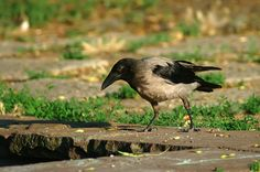 nice raven