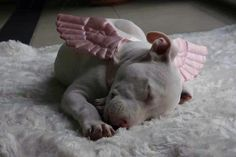 Pit bull angel || I commend the photographer who came up w/this concept, the perfectly sized & colored wings & the color & fabric under the subject. Plus, waiting for the perfect moment/pose of a sleeping Pit Bull puppy. A wonderful picture! Good on ya! ||