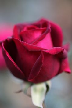 Amazing flowers - My Garden Amazing Flowers, Beautiful Roses, My Flower, Flower Art, Flower Power, Beautiful Flowers, Hot Pink Roses, Red Roses, Rose Pictures