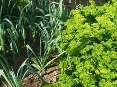 Add a few onions to this parsley and leeks and we are ready for the soup