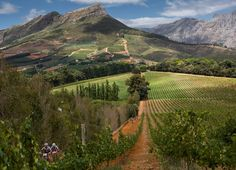 The vineyards at Thelema Wine Estate, Stellenbosch, South Africa