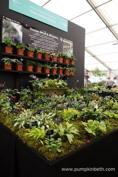 Hogarth Hostas were awarded a Gold Medal, and the prestigious title of Best Plant Heritage Exhibit, at the RHS Hampton Court Palace Flower Show Rhs Hampton Court, Chelsea Flower Show, Cool Plants, Exhibit, Palace, Pumpkin, Conservation, Flowers, Gold