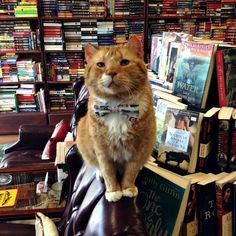 He was old, irritable, unhealthy, and miserable at the shelter. Now he's the happy guardian of the Second Edition Book Shop in Davie, Florida, and cares for every customer that walks in. Meet Catsby, the 14-year-old book shop cat! Story and 5 photos: http://www.traveling-cats.com/2016/07/cat-from-davie-usa.html