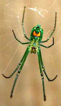Orchid Spider