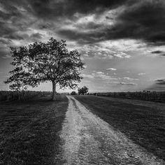 Tree, Dirt Road, Blomidon Estate Winery, Nova Scotia