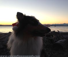 Harlequin blue merle rough collie, Huxley, enjoys the Christmas Ships at sunset. Lowman Beach Park, Seattle.