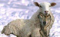 Cuidado con los lobos con piel de cordero