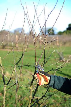 Apples and pears: winter pruning/RHS Gardening