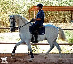 Classical Dressage and High School Training Programme. Andalusian horse. Dressage in span.
