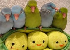 Five parrotlets in a pod!