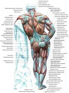 atlas-muscle-02.jpg (750×1016)