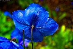 Himalayan Blue Poppy Bouquet 10 Best Himalay...