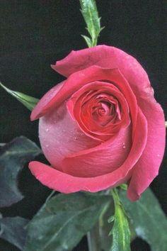 4297 best beautiful rose flower images on pinterest in 2018 i mightylinksfo