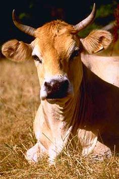 Vaches normandes photos photo de vache de race normande et son veau manche 50 france - Vache normande dessin ...