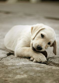 lab puppies philosophy: if they find it consider it already chewed to bits ;)