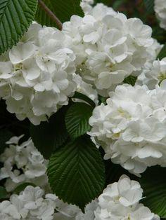 "Viburnum plicatum ""Popcorn"" doublefile viburnum blooms by garden muses-not… Toronto Gardens, Flowering Shrubs, Landscaping Plants, Amazing Flowers, Muse, Lilac, Bloom, Popcorn, Landscape"