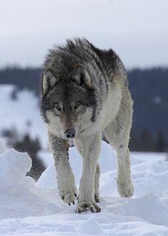 "wolveswolves: ""By Robert Weselmann ""                                                                                                                                                     More"