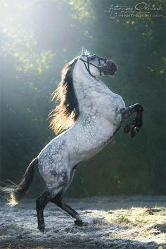 Andalusian stallion 'Escudero VII,' Poland, by Katarzyna Okrzesik Most Beautiful Horses, All The Pretty Horses, Animals Beautiful, Majestic Horse, Majestic Animals, Horse Photos, Horse Pictures, Dapple Grey Horses, Gray Horse