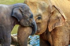 The more we learn about elephants, the more we realize they are so like us in many ways.