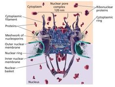 nuclear pore - Google Search