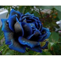 Blauw/zwarte roos