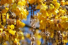 New Zealand Native Sophora Microphylla (Kowhai) Flower royalty-free stock photo Spring Images, Golden Flower, Abstract Photos, Flower Photos, Spring Time, New Zealand, Royalty, Bloom, Pumpkin