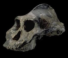 """The most famous specimen of Paranthropus aethiopicus was discovered west of Lake Turkana and was dated to 2.5 million years old. It was known as """"Black Skull"""" because mineral uptake during fossilization gave the specimen a blue-black color"""