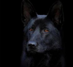 What a BEAUTIFUL GSD