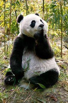 Znalezione obrazy dla zapytania panda sitting