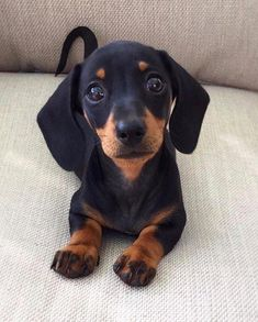 and puppies Cute Dachshund Puppy 💖 Black Dachshund, Dachshund Funny, Dapple Dachshund, Dachshund Puppies, Weenie Dogs, Dachshund Love, Cute Dogs And Puppies, Pet Dogs, Doggies