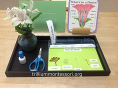 Dissecting a Flower- Parts of a Flower- at Trillium Montessori