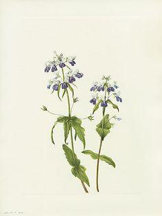 Mary Vaux Walcott North American Wildflower Prints 1925
