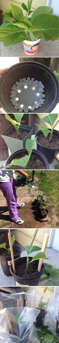 Grow Hydrangeas From Cuttings - Alternative Energy and Gardning #flower #hydrangea #garden #yard #shade #aboutthegarden #spring #gardeningaustralia #vintage #likegrandmausetohave