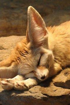 Fennec Fox ! !