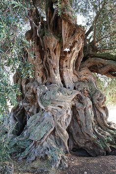 Árbol El olivo más antiguo del Mar Mediterráneo, Sa Meri Manna, Villamassargia, Cerdeña.