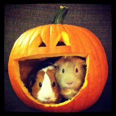 Halloween guinea pigs, Elsie and Vera :]
