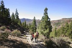 Walking through pine forests on Gran Canaria