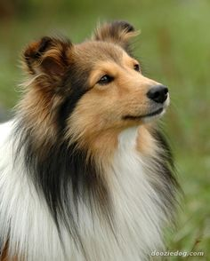 Shetland Sheepdog. Although they look a bit like miniature Collies, Shelties are…